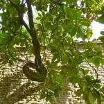 Palazzo Donati Tree
