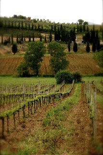 A vineyard in Tuscany.