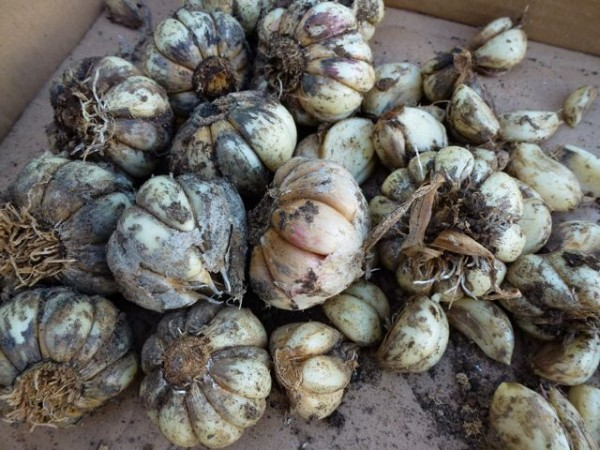 Freshly harvest viola Francese garlic bulbs will dry in a shady spot for a few weeks.