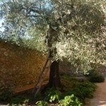 Olive tree in the Pipistrelli courtyard.